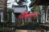鎌倉 杉本寺のカンヒザクラ
