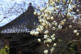 鎌倉宝戒寺の白木蓮と太子堂