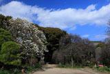 鎌倉宝戒寺のハクモクレン