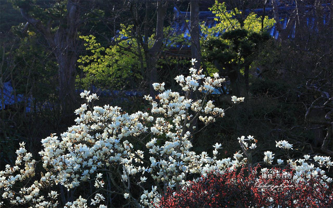 鎌倉長谷寺のハクモクレンと観音堂 壁紙