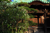 鎌倉大巧寺 リキュウバイと本堂
