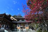 長谷寺の寒緋桜と阿弥陀堂