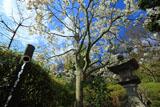 鎌倉長谷寺のハクモクレンと竹樋