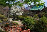 鎌倉長谷寺のミツマタとハクモクレン