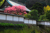 建長寺妙高院のハナモモ