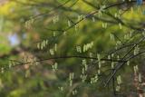 鎌倉山ノ内のキブシ
