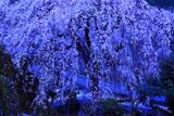 朝ぼらけの市川家のしだれ桜