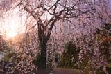 朝陽を浴びた市川家のしだれ桜
