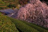 土佐茶と市川家のしだれ桜