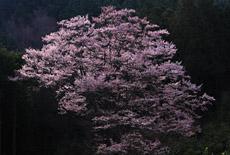 舟野のひょうたん桜