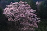 杉林を背景に咲く舟野のひょうたん桜
