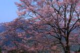 舟野ひょうたん桜