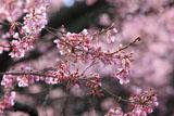 舟野ひょうたん桜 瓢箪の形をした蕾