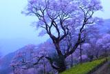 ひょうたん桜が黄砂で真っ白