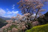 黄砂一過のひょうたん桜