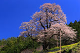 ひょうたん桜を下から見上げて