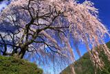 中越家の枝垂れ桜