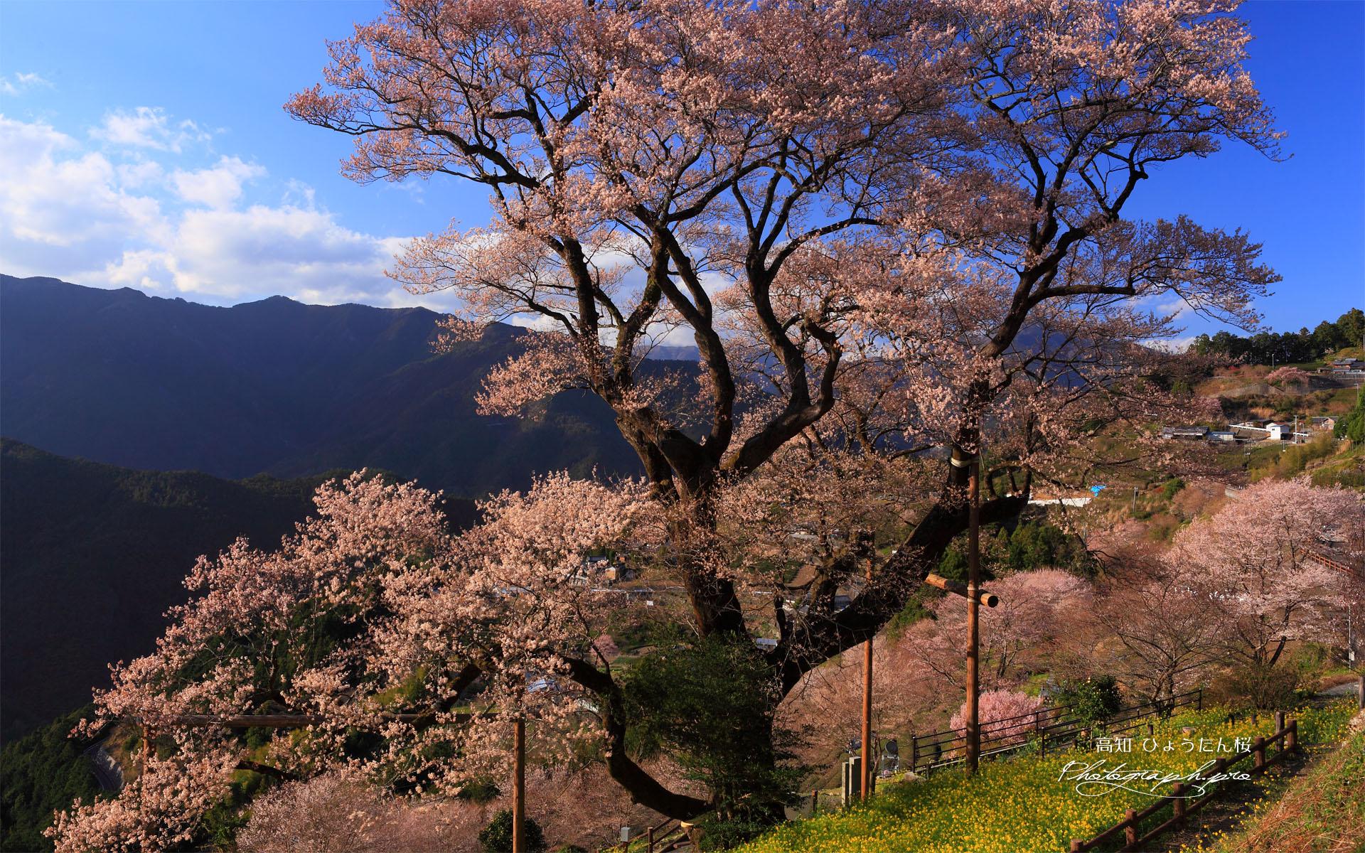 ひょうたん桜 四国の雄