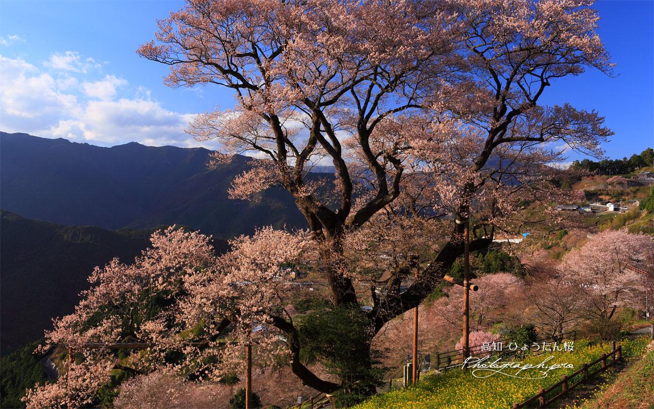 ひょうたん桜 四国の雄 壁紙