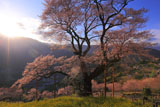 夕陽に照らされたひょうたん桜