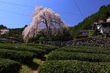 大石家の枝垂桜