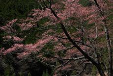 生芋のひょうたん桜
