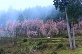川井峠のしだれ桜