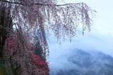 徳島木屋平の枝垂桜と花桃
