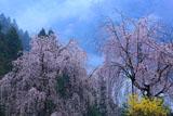 徳島県木屋平のシダレとレンギョウ