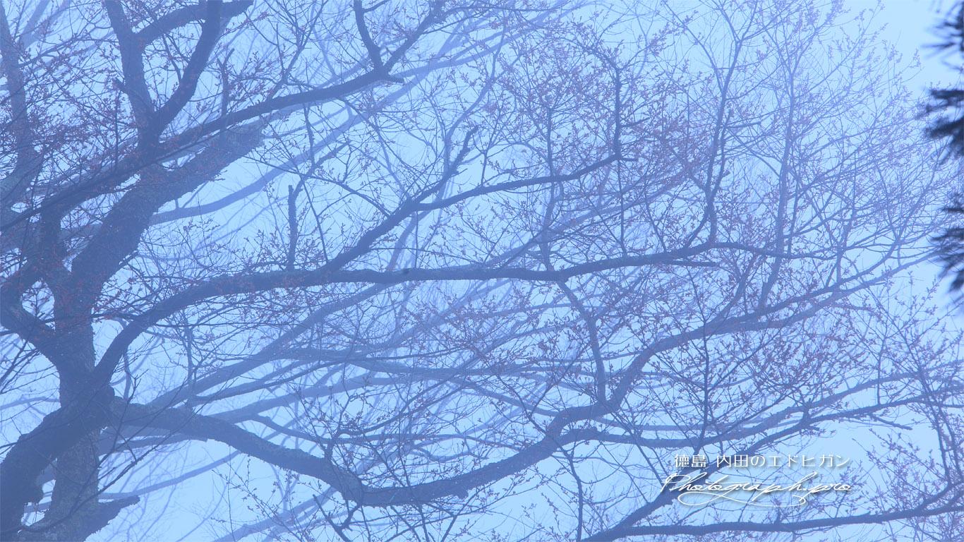 世の中桜(未開) 壁紙