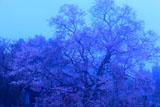 霧につつまれた桜堂のひょうたん桜