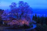 桜堂のひょうたん桜ライトアップ?