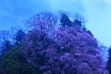 天日神社のエドヒガン