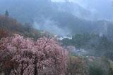 つるぎ町 吉良のしだれ桜