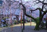 明王寺のシダレザクラ