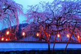 明王寺の枝垂桜