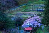 用の山の桜と棚田
