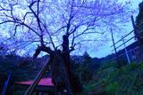 用の山桜と御堂