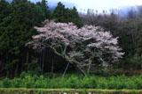 久尾彼岸桜