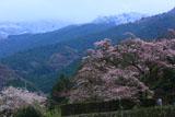 冠雪した山と大通庵エドヒガンザクラ
