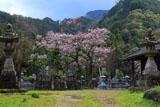 墓守の桜の大通庵江戸彼岸桜