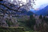 愛媛の桜と棚田