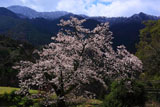 愛媛県東温のソメイヨシノ
