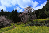 西村大師堂のしだれ桜と菜の花畑