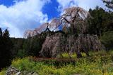 西村大師堂の枝垂れ桜