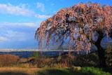 古田の枝垂れ桜と西条平野