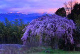 古田の枝垂れ桜と石鎚山