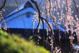 石畳東の枝垂れ桜
