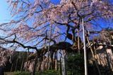 東の枝垂桜