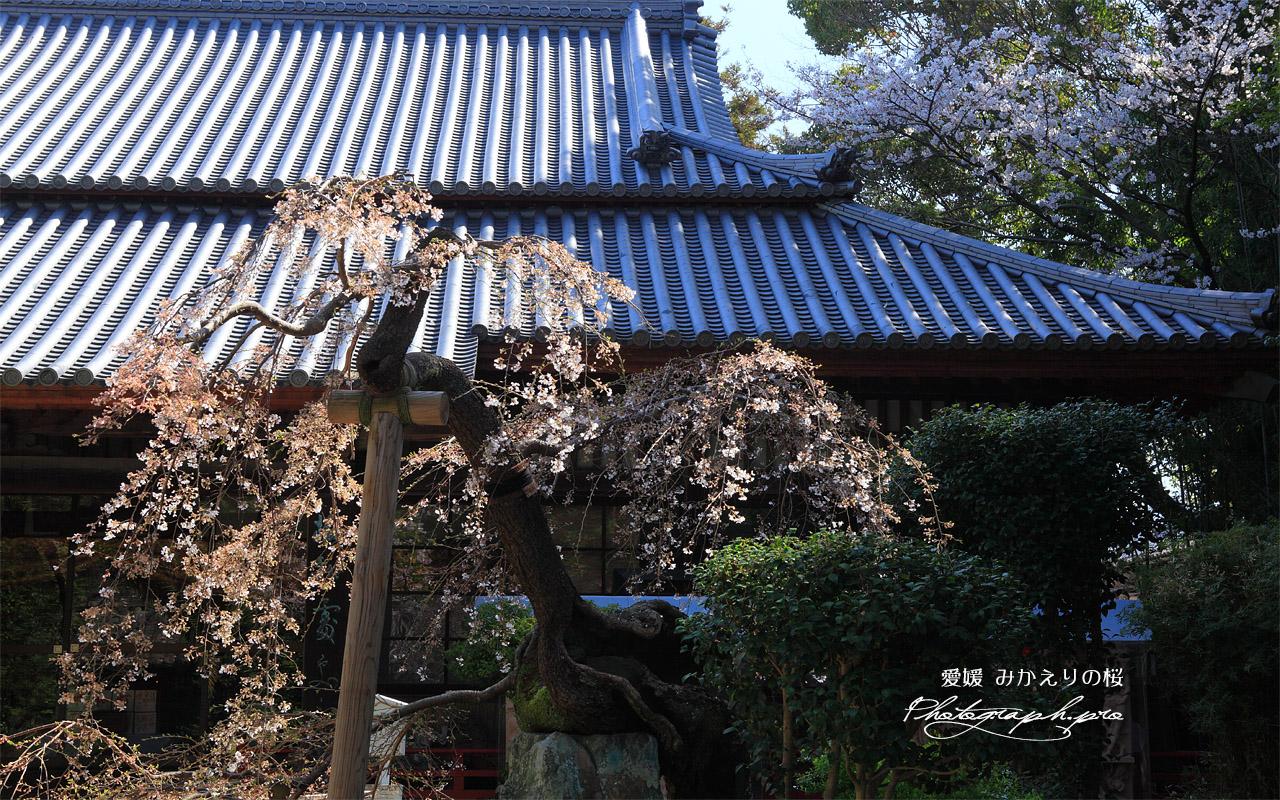 みかえりの桜 壁紙